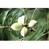 Pecan, Carya Illinoinensis, Tree Seeds (Hardy, Edible Nuts) 8 Seeds