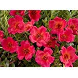 35+ Purslane Rock Ruby Tuesday Flower Seeds / Drought and Heat Tolerant Perennial Herb