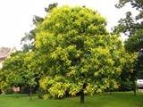 Koelreuteria paniculata GOLDEN RAIN TREE Seeds!