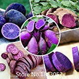 High Quality.100 Seeds/Pack.Annual Fruit and Vegetable Seeds Molokai Purple Sweet Potato.DIY Home Garden&Bonsai Plant Seeds Rare