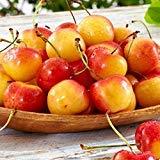 Rainier Sweet cherry yellow white fruit flesh very sweet fruit tree 10 seeds