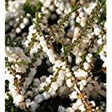 HEIRLOOM NON GMO Kinlochruel White Heather (Calluna Vulgaris) 25 seeds