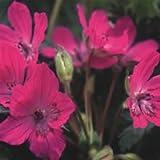 Plant World Seeds - erodium manescavii Seeds