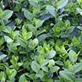 Purple Leaf Wintercreeper Euonymus fortunei 'Coloratus' Groundcover - 300 Bare Root Plants