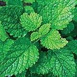 "Lemon Balm Perennial Herb Plant - Heirloom - Melissa - 3"" Pot"