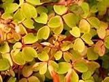 """Velvet Sunset Shamrock - Oxalis - 2.5"""" Pot - Fairy Garden Plant or House Plant"""