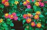 "Lantana ""Confetti""; Flowering Plant Bush, LIVE POTTED,"