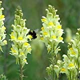 Nuts n' Cones Wildflower - Common Toadflax - 4000 Seeds