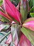 Ti hawaiian RED SISTER Cordyline fruticosa live plant approx. 2 feet tall