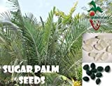 25 Sugar Palm Seeds, (Arenga engleri) from Hand Picked Nursery