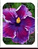 On Sale!!! 20seeds Hibiscus seeds 24kinds HIBISCUS ROSA-SINENSIS Flower seeds hibiscus tree seeds for flower potted plants