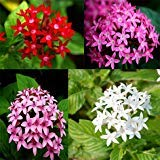 ADB Inc 2016 Pentas Lanceolata Flower seeds Starry flowers Seeds Purify Indoor Outdoor Bonsai Air Mixing colors (01 Mix 4 Color)