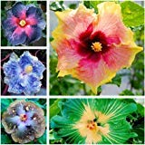 NewHibiscus seeds 14kinds HIBISCUS ROSA-SINENSIS Flower 200+ seeds hibiscus tree seeds - mix