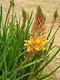 3 live Plants Bulbine Frutescens African Aloe Very..blooming Beautiful flowers