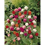 Globe Amaranth Mix Color ~ White, Pink, Rose, Salmon,and Purple. 50 Seeds.
