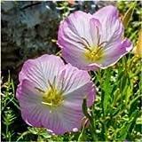 Package of 6,000 Seeds, Showy Evening Primrose Seeds (Oenothera speciosa)