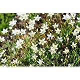 Thyme-Leaved Sandwort Seeds - Arenaria serpyllifolia - Perennial Ground Cover ! (1000 Seeds)
