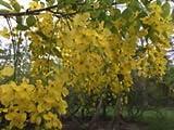 Cassia fistula GOLDEN SHOWER TREE golden yellow flowers SEEDS!