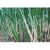 Family Poaceae Pennisetum Alopecuroides Seeds 3000pcs, Adaptability Chinese Pennisetum Forage Seeds, Sweet Elephant Grass Seeds