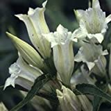 Plant World Seeds - gentiana asclepiadea alba Seeds