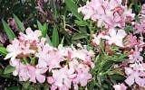 Nerium oleander HARDY PINK OLEANDER Seeds!