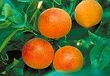 2-3 Year Old (2-3 Ft) Moro Blood Orange Tree
