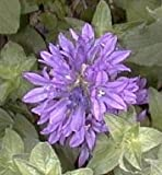 Campanula (Bellflower) glomerata superba 2,000 seeds