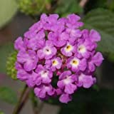 "Lantana-Luscious-Grape - 4 1/2"" Pot (Annual)"