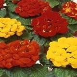 100 Slipper Flower Calceolaria Seeds Herbeohybrida Fashion Mix