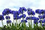 Lily of the Nile, 20+ SEEDS Flowers,Blue African Lily Agapanthus africanus
