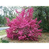 Loropetalum Chinense Tree Seeds 50 Seeds Beautiful Ornament Flower Bonsai Redrlowered Loropetalum Flower Seeds Home Garden