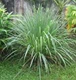 Nuts n' Cones Herb Seeds - Lemon Grass - 125 Seeds