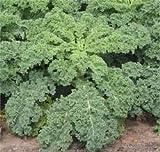 Kale Dwarf Siberian Improved Great Heirloom Vegetable BULK 1 Lb Seeds By Seed Kingdom