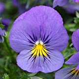 1 STARTER PLANT of PANSY COOL WAVE 'BLUE SKIES'' - Pot