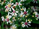100 Lady in Black Calico Aster Flower Seeds