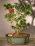 Bonsai Boy's Flowering Bottlebrush - Little John - Medium Callistemon Citrinus Little John
