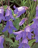 Campanula (Bellflower) persicifolia Telham Beauty 2,000 seeds