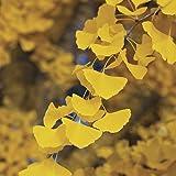 GINKGO BILOBA - Maidenhair Tree - LEAVES ARE USED TO ENHANCE MEMORY - 1 - Year Tree