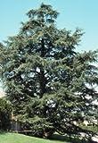 Cedrus atlantica: Atlas Cedar Seeds