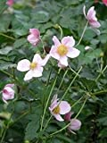(1 Gallon) Japanese Anemone 'September Charm' (Groundcover) Grape-like Dark Green Leaves, Tall Stalks with Silver Pink Blooms