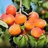 10 Seeds Dwartf Mandshurian Apricot Fruit Tree(Prunus armeniaca mandshurica)
