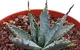Rare Agave Utahensis var Nevadensis 5 seeds~Red spine agave plant SEEDS