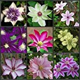 Free Shipping 100PCS Clematis seeds,clematis plant seeds Clematis florida Thunb Flower seeds For Garden Home Bonsai Planting
