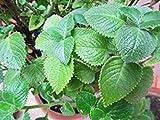 Cuban Oregano, (5 Live Plant) Indian Borage, Mexican Mint, Spanish Thyme