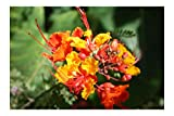 Pride of Barbados 10 Tropical Seeds Red Peacock Flower Tropical Plant Zones 8+ drought tolerant loves heat Caesalpinia pulcherrima