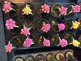 Set of 5 mix Cactus Gymnocalycium mihanovichii japan 5,5 cm pot 12 cm tall