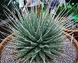 Agave Utahensis Eborispina Exotic Succulent Rare Cacti Seed Plant Aloe 100 Seeds