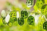 SILVER DOLLAR PLANT, 70 SEEDS, LUNARIA, MONEY PLANT, UNUSUAL SEEDPODS, PURPLE