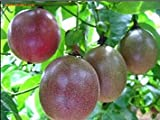 SD0530 Passion Fruit Seeds, Fresh High Germinating Seeds, Rare Seeds, Non-Genetically Modified Seeds (15 Seeds)