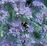 Honeyman Farms Phacelia Purple Tansy Seeds 1 lb Bag